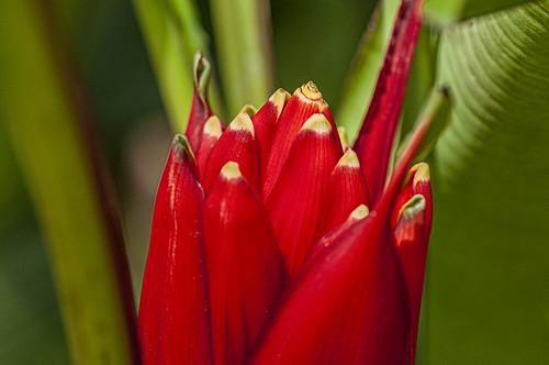 Musa coccinea (Scarlet banana / Antorcha)
