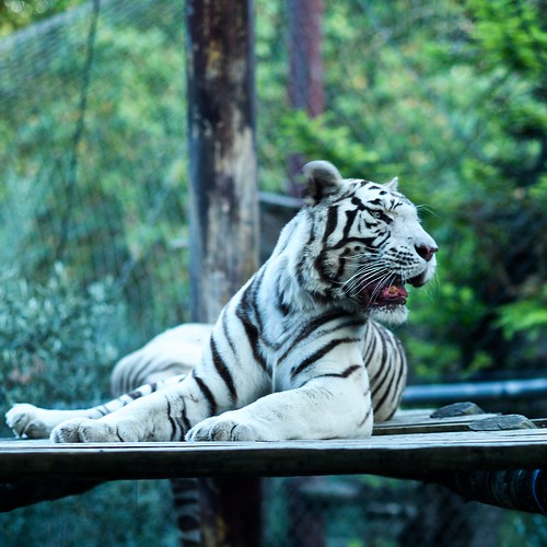 Captive White Tiger (2019)