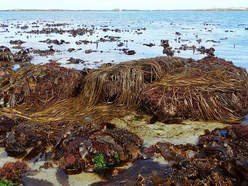 Himanthalia elongata - Himanthale ou Haricot de mer ou Spaghetti de mer  - Thong-weed or Sea-thong - 01/09/19