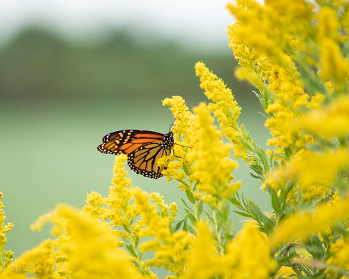 One more butterfly pic!!