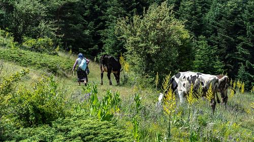 ABANT LAKE - Bolu   Turkey.    Abant Plateau.   Shepherdess
