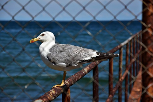 Seagull Sitting On Pier