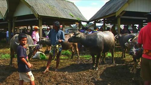 Indonesia - Sulawesi - Bolu - Cattle Market - Water Buffalos - 34