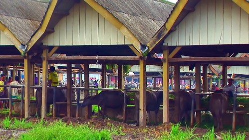 Indonesia - Sulawesi - Bolu - Cattle Market - Water Buffaloe - 2