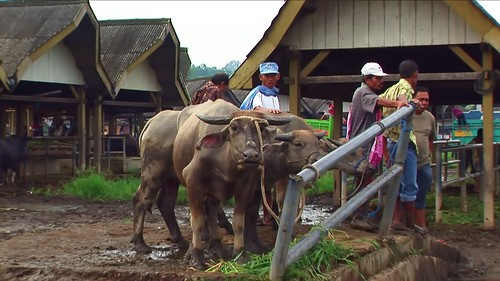 Indonesia - Sulawesi - Bolu - Cattle Market - Water Buffalo - 1