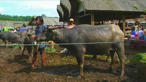 Indonesia - Sulawesi - Bolu - Cattle Market - Water Buffaos - 29