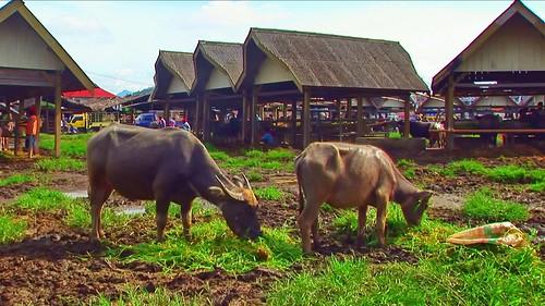 Indonesia - Sulawesi - Bolu - Cattle Market - 28
