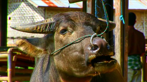 Indonesia - Sulawesi - Bolu - Cattle Market - 33