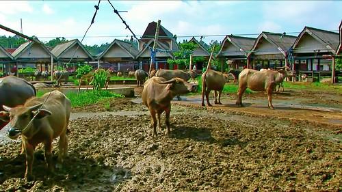 Indonesia - Sulawesi - Bolu - Cattle Market - 31