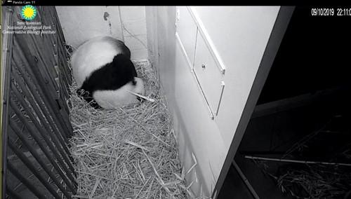 panda Mei