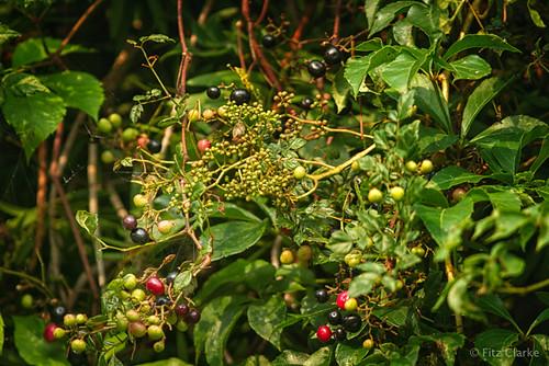 Virginia Creeper(Parthenocissus quinquefolia)-1-22