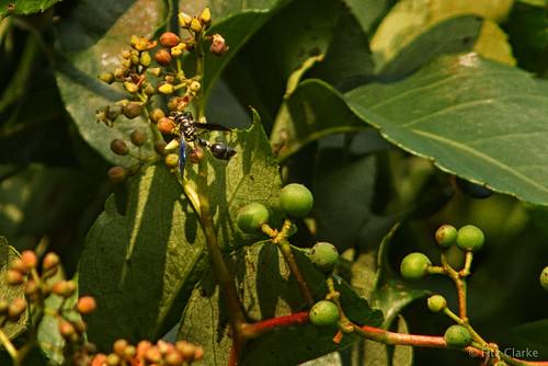 Virginia Creeper(Parthenocissus quinquefolia)-3-22