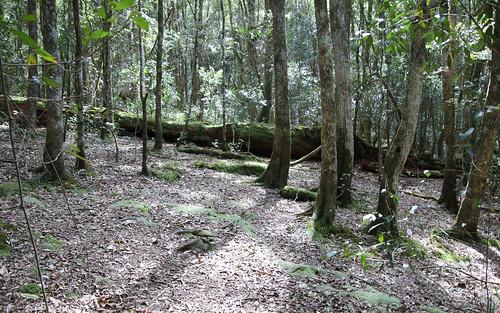 Ironwood (Backhousia myrtifolia)