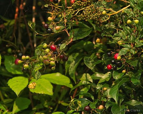 20190910-Virginia Creeper(Parthenocissus quinquefolia)-2-22