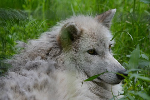 /\/\/\ Wolf-In-The-Grass - II. \/\/\/