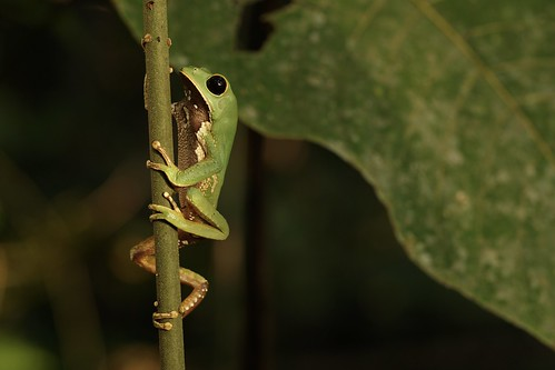Phyllomedusa camba climbing
