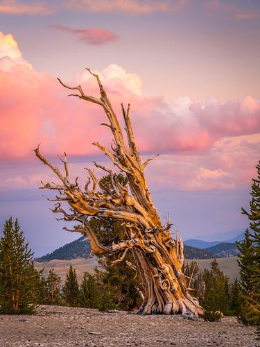Ancient Bristlecone Pine Forest Sunset Breaking Summer Storm Red Orange Yellow Clouds! Fine Art Landscape Nature Photography! Fujifilm GFX 100 Medium Format Mirrorless Camera McGucken Fuji GFX100! Fujifilm FUJINON GF 100-200mm f/5.6 R LM OIS WR Lens!