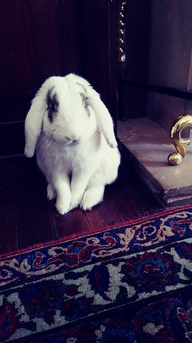 Meet my sister's new house-matePeter P. Rabbit Esq. the most adorable little guy I'd ever seen but after dogs and cats, a challenge!