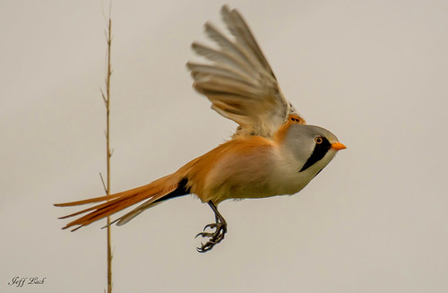 DSC7671 Bearded Reedling..