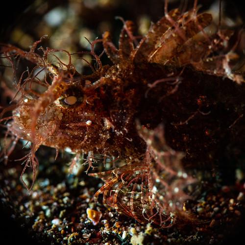ambon scorpion fish up close-1
