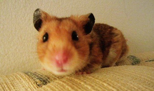 Kramer the Hamster 4427
