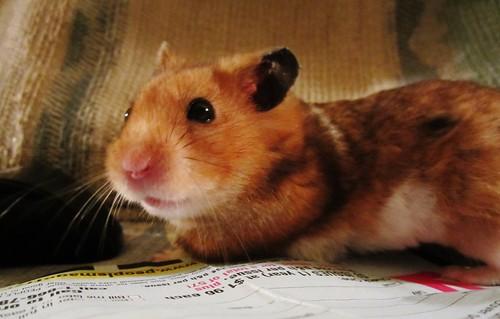 Kramer the Hamster 4434