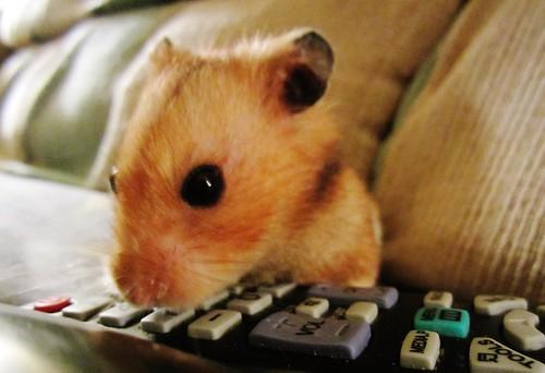 Remote hamster 4435