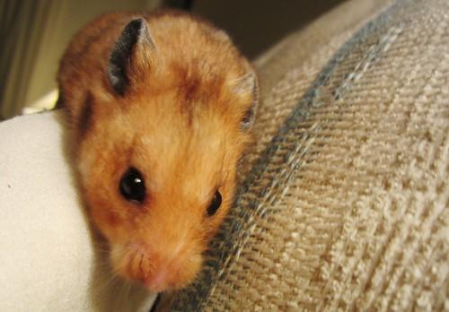 Kramer the Hamster 4440