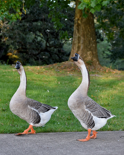 African geese (I think) struttin and checkin me out. Waverly Park, OR