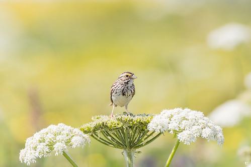 ''Lumineuse!'' Burant des prés-Savannah sparrow