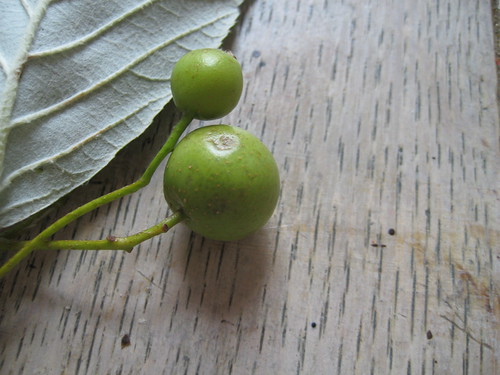 Whitebeam(?) leaf,(the matte whitish verso), and unripe fruits.