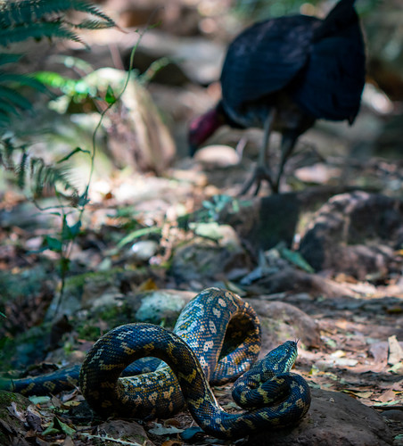 The Tree Snake and the Brush Turkey