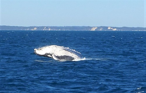Hervey Bay. Humpback whale jumping out of the ocean. Fraser Island in the background.