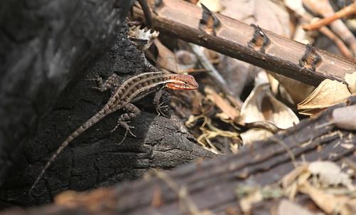 Sceloporus chrysostictus (Yucatan Spriny Lizard)