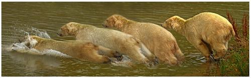 Diving Polar Bear Composite