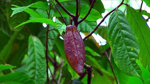 Indonesia - Sulawesi - Tanah Toraja - Cocoa Bean - 314