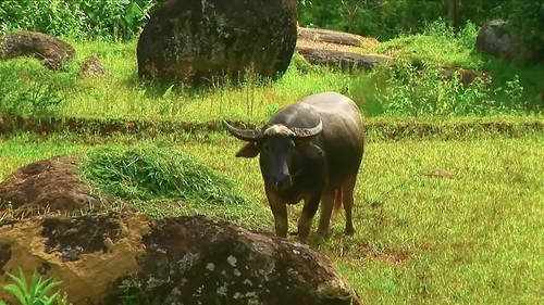 Indonesia - Sulawesi - Tanah Toraja - Water Buffaloe - 304