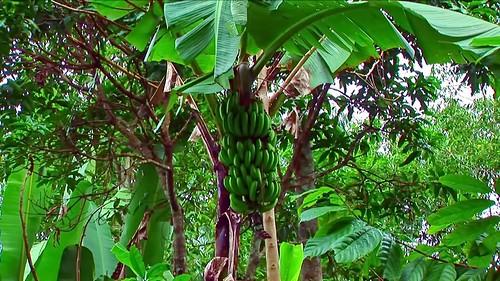 Indonesia - Sulawesi - Tanah Toraja - Banana - 311