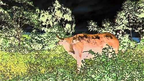 Indonesia - Sulawesi - Tanah Toraja - Water Buffaloe - 217bb