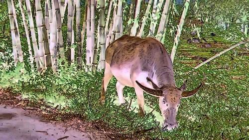 Indonesia - Sulawesi - Tanah Toraja - Water Buffaloe - 216bb