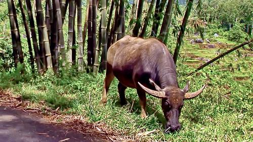 Indonesia - Sulawesi - Tanah Toraja - Water Buffaloe - 216