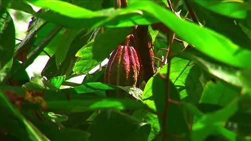 Indonesia - Sulawesi - Tanah Toraja - Cacao - 214