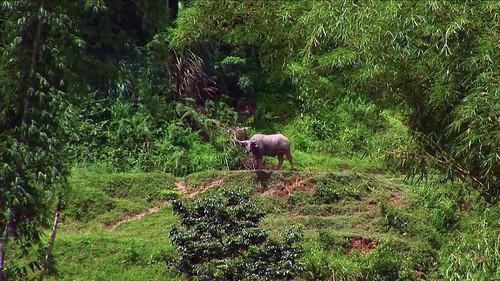 Indonesia - Sulawesi - Tanah Toraja - Water Buffalo - 4