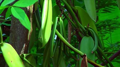 Indonesia - Sulawesi - Tanah Toraja - Vanilla - 317