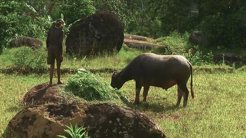 Indonesia - Sulawesi - Tanah Toraja - Water Buffaloe - 305
