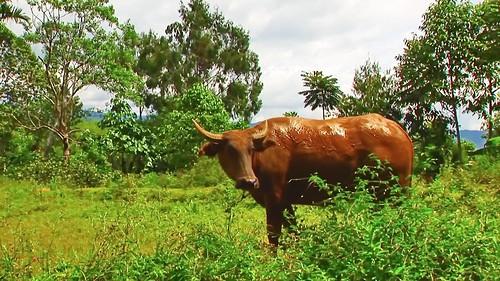 Indonesia - Sulawesi - Tanah Toraja - Water Buffaloe - 217
