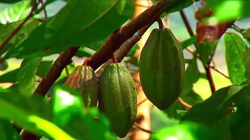 Indonesia - Sulawesi - Tanah Toraja - Cacao - 213