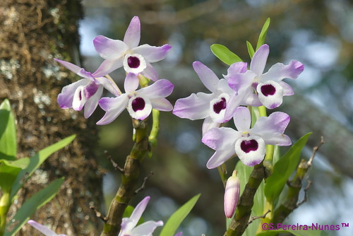 Dendrobium Orchid, Orquídea