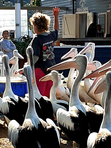 Pelican feeding at Fishermans Wharf in Woy Woy daily at 3pm. A serious black and white event. The convened, Wendy, is dedicated to pelican rescue and welfare.