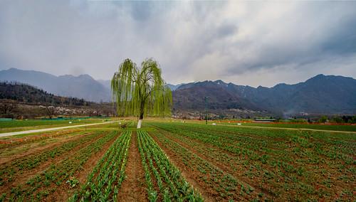 Tulip Garden,Kashmir,India